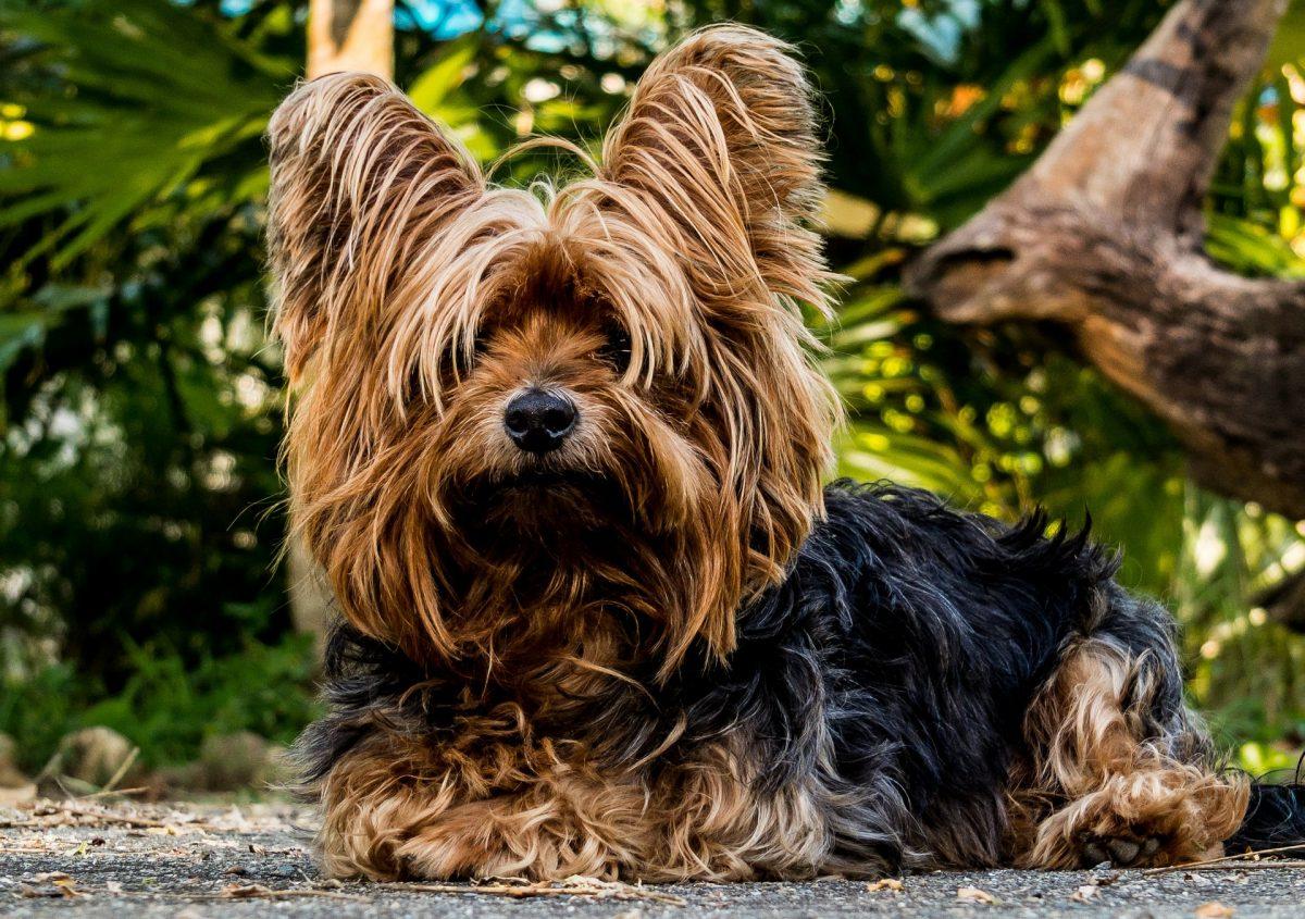terrier-dog